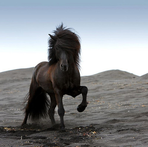 Icelandic Horses are like regal and elegant fluffy clouds descended from unicorns and wind. You're welcome.Click for source