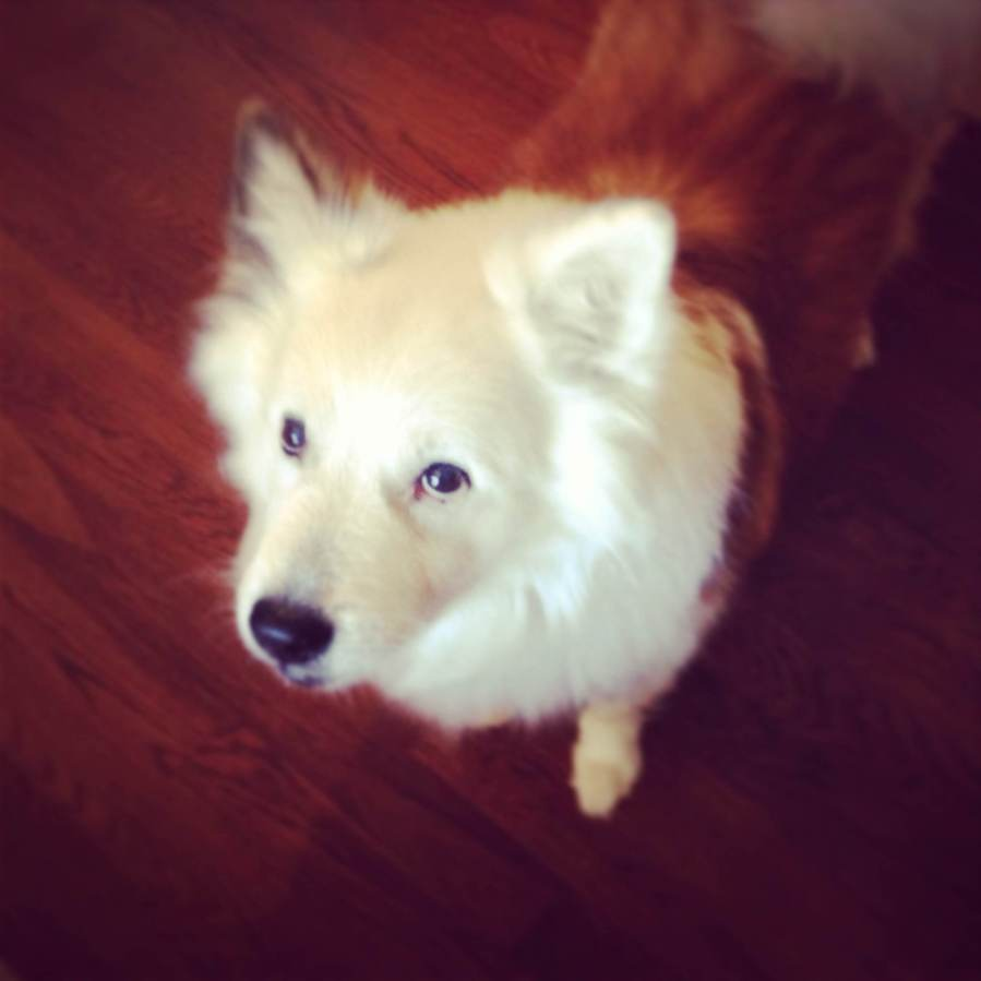 Lukas, our 12-year-old Icelandic Sheepdog, my buddy since 6th grade.